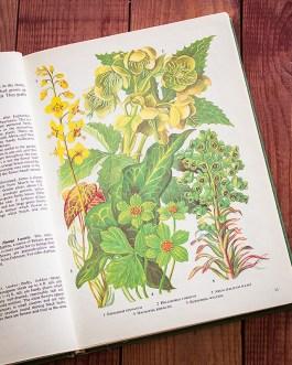 Садовые растения. Иллюстрация из книги 1960 года. Артикул: tibogf007