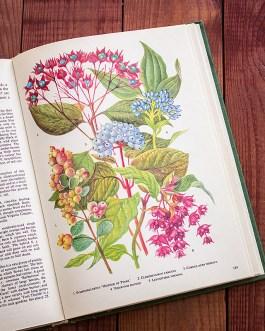 Садовые растения. Иллюстрация из книги 1960 года. Артикул: tibogf095