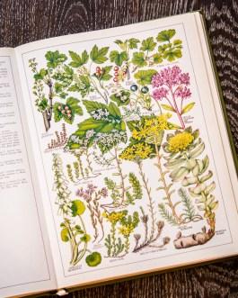 Растения Британии. Иллюстрация из книги 1982 года. Артикул: tncbf033