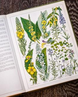 Растения Британии. Иллюстрация из книги 1982 года. Артикул: tncbf062