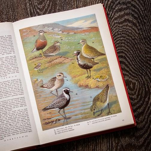 Птицы. Иллюстрация из книги 1973 года. Артикул: tobob032