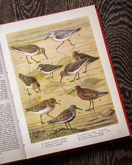 Птицы. Иллюстрация из книги 1973 года. Артикул: tobob039