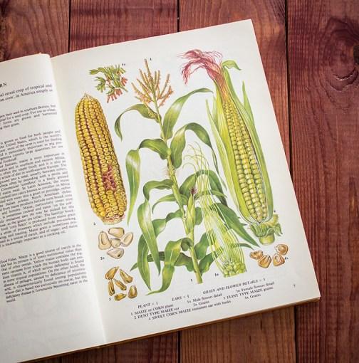 Кукуруза. Иллюстрация из книги 1971 года. Артикул: tobofp003