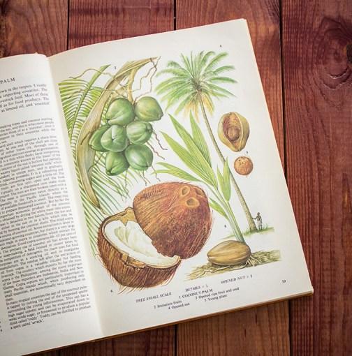 Кокос. Иллюстрация из книги 1971 года. Артикул: tobofp009