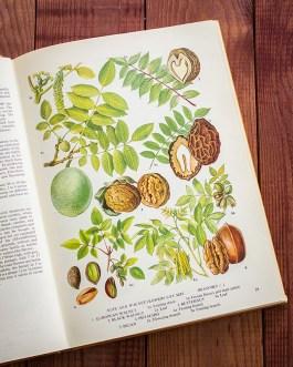 Фисташки. Иллюстрация из книги 1971 года. Артикул: tobofp014