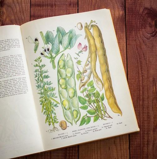 Бобы. Иллюстрация из книги 1971 года. Артикул: tobofp020