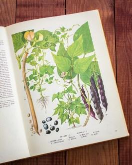 Горох. Иллюстрация из книги 1971 года. Артикул: tobofp022