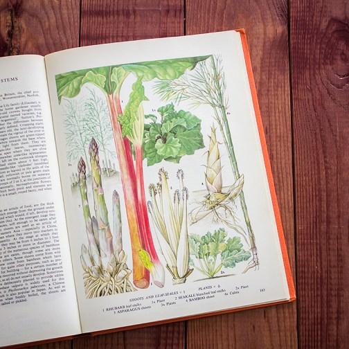 Спаржа. Иллюстрация из книги 1971 года. Артикул: tobofp081