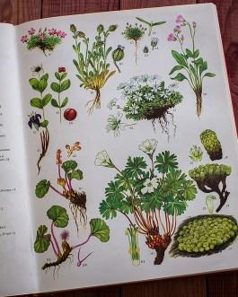 Дикие цветы. Иллюстрация из книги 1970 года. Артикул: wfw_pl003