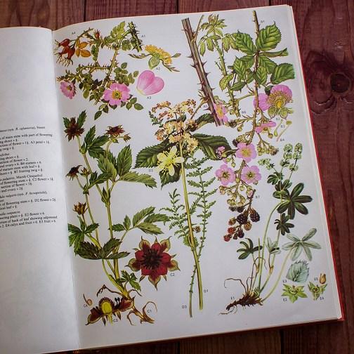 Дикие цветы. Иллюстрация из книги 1970 года. Артикул: wfw_pl009