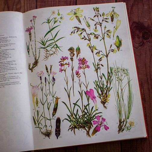 Дикие цветы. Иллюстрация из книги 1970 года. Артикул: wfw_pl013