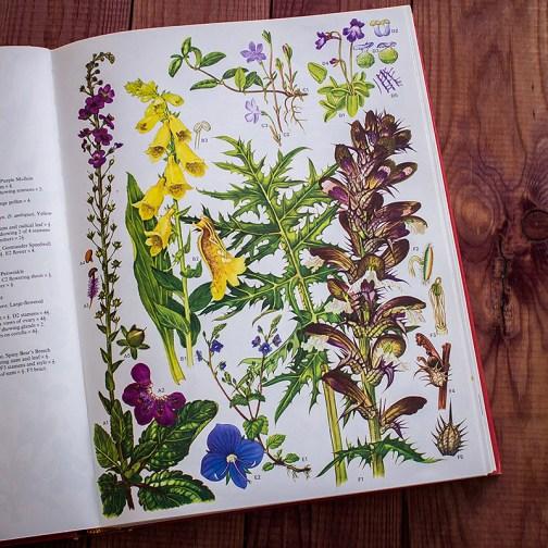 Дикие цветы. Иллюстрация из книги 1970 года. Артикул: wfw_pl021