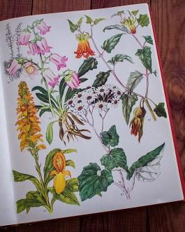 Дикие цветы. Иллюстрация из книги 1970 года. Артикул: wfw_pl043