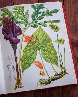 Дикие цветы. Иллюстрация из книги 1970 года. Артикул: wfw_pl067