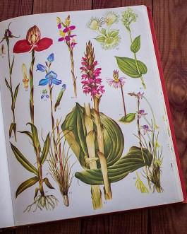 Дикие цветы. Иллюстрация из книги 1970 года. Артикул: wfw_pl089