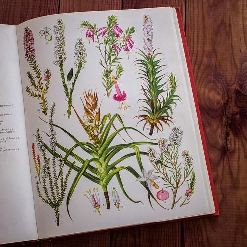 Дикие цветы. Иллюстрация из книги 1970 года. Артикул: wfw_pl136