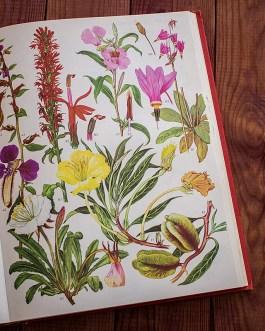 Дикие цветы. Иллюстрация из книги 1970 года. Артикул: wfw_pl156