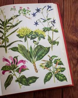 Дикие цветы. Иллюстрация из книги 1970 года. Артикул: wfw_pl172