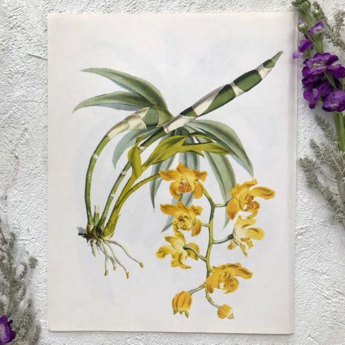 Иллюстрация с Орхидеями 1979 года.