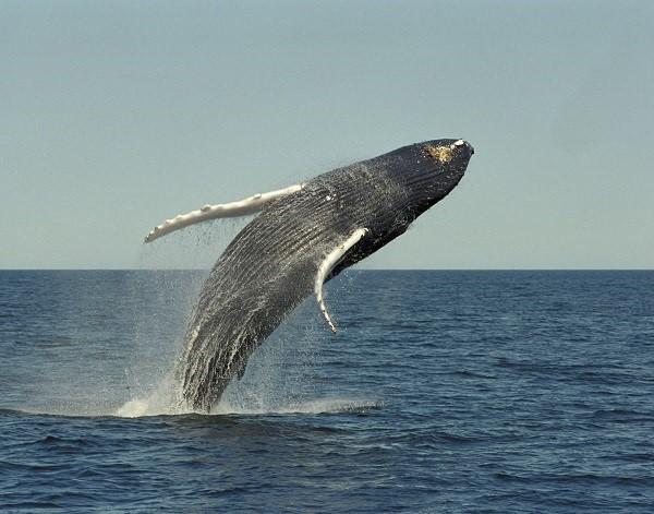 Breaching Humpback Whale Large