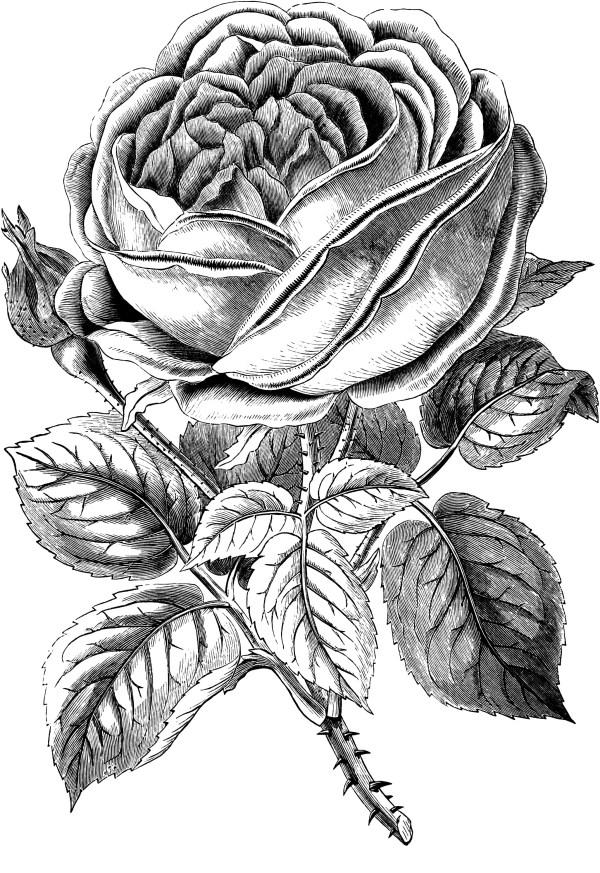 free vintage rose clip art