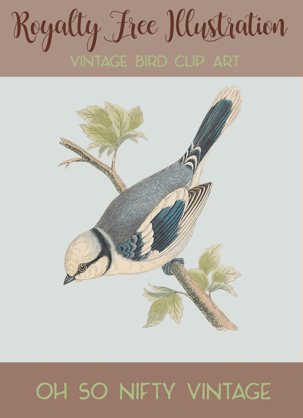Royalty Free Illustrations | Vintage Bird Clip Art | Azure Tit