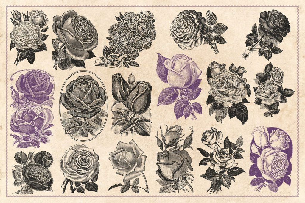70 Beautiful Vintage Rose Stock Images
