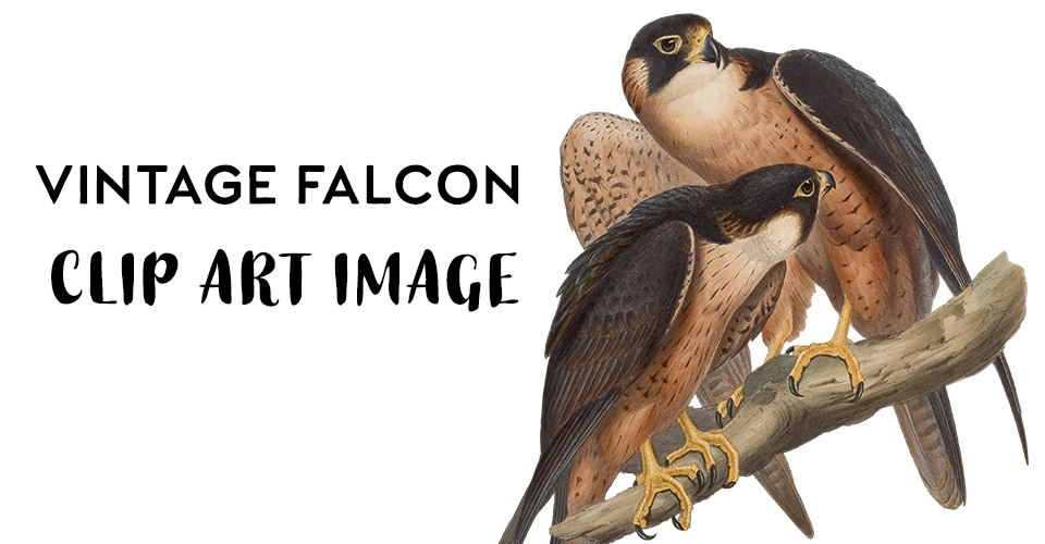 Vintage Falcon Illustration