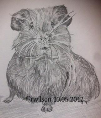 Guinea Pig (pencil sketch)