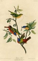 Painted_Finch_(Audubon)