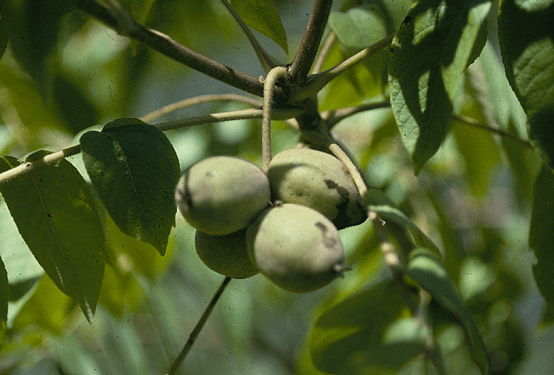 Immature cluster of butternuts