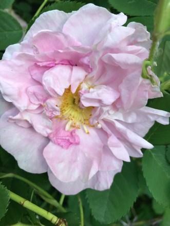 Celsiana, my favorite Damask rose.