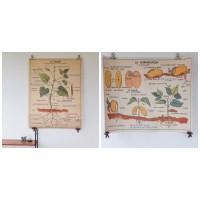 Affiche scolaire Les plantes & La germination