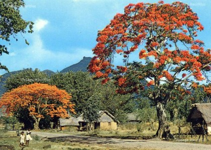 Families living in Straw Houses Mauritius 1960s Flamboyant