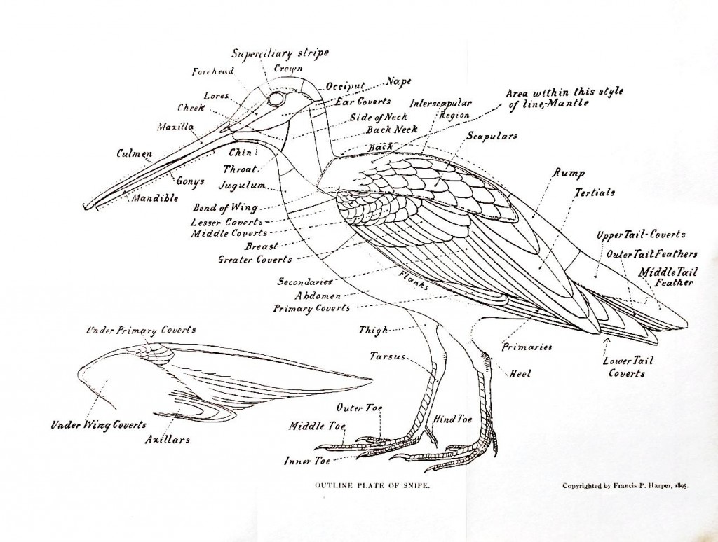 Female Bird Anatomy