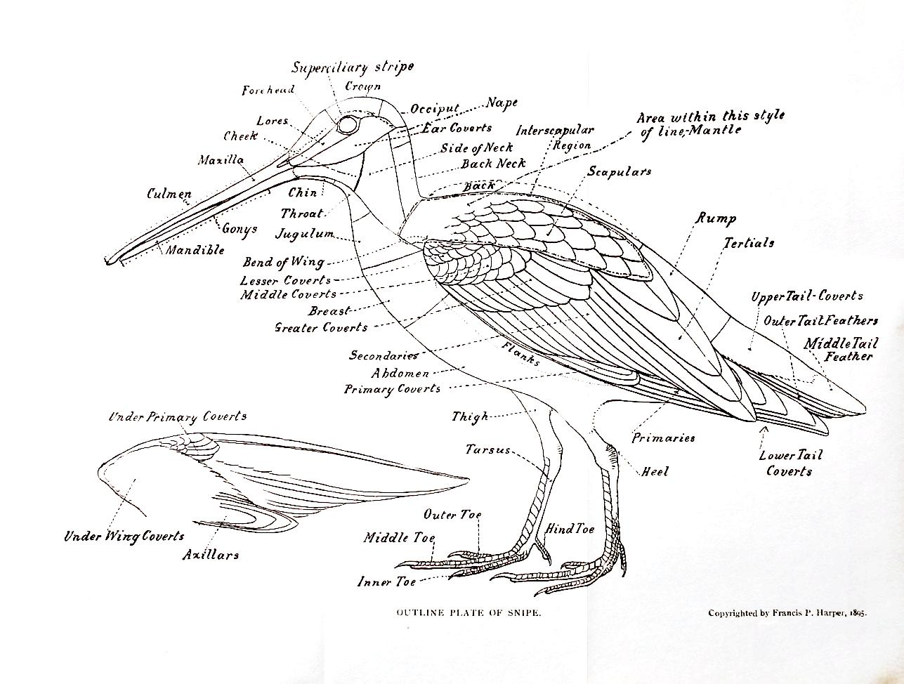 Bird External Anatomy