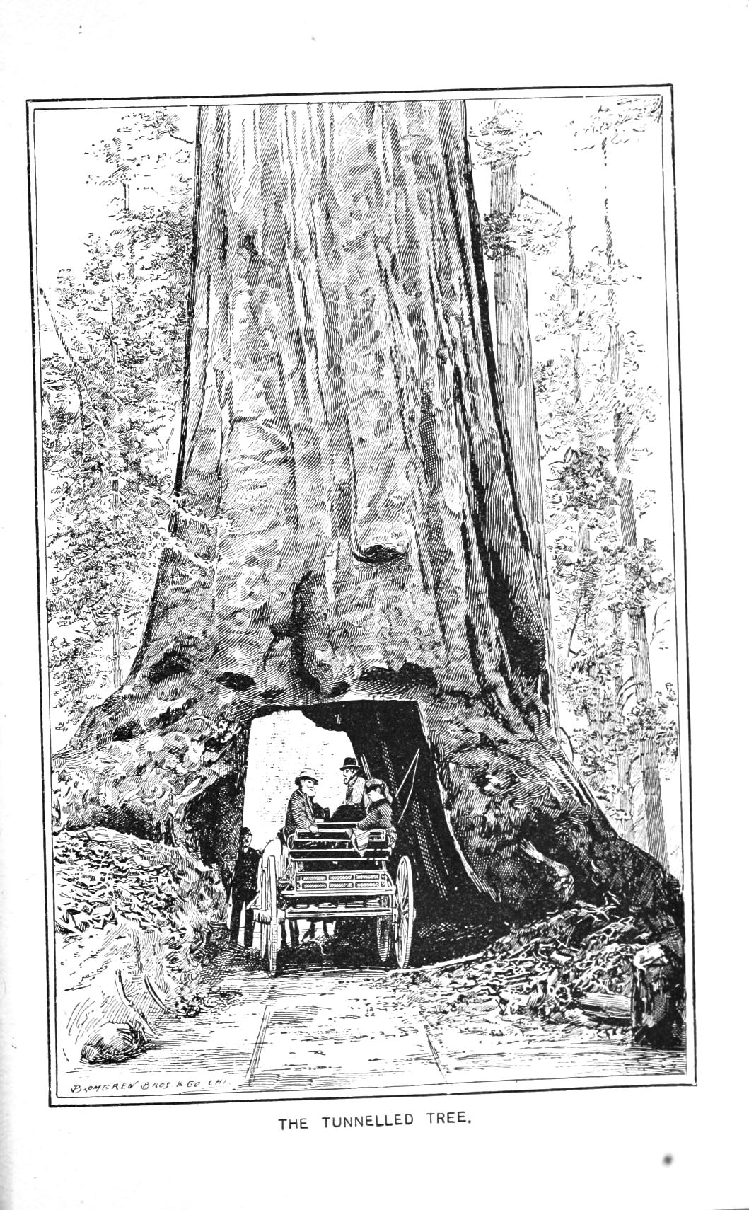 Botanical Tree Giant Redwood 1851 Drive Thru