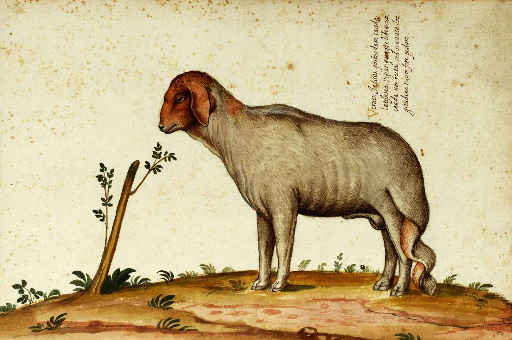 Animal  Range and Farm  Sheep  Deformed  Italian