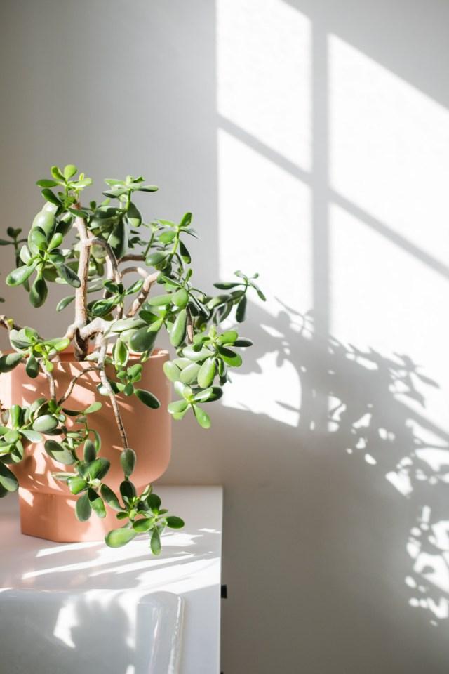 Interior Jade Plant in full sun
