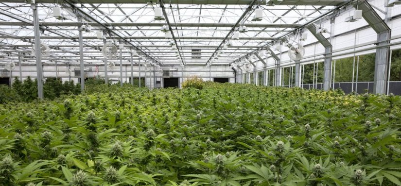 The 5 Best Marijuana Stocks To Buy Right Now Vintage Value Investing