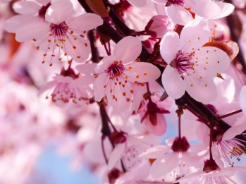 Blooming-Pink-Cherry-Blossom-pink-color-34590866-1600-1200