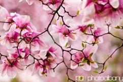 Cherry-Blossom-festival-DC-8