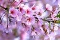 cherry-blossoms1-flat
