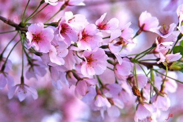 cherry-blossoms1-flat
