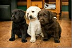 20130423-three-puppies_thumb