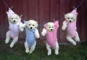 puppies-hanging-in-baby-clothes-big