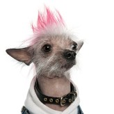 Chinese Crested Dog - Hairless (2 years old)
