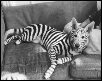chinese-dog-dying-zebra-dyed-wtf
