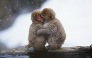 snow-animals-cold-snow-monkey-baby-animals-hugging-japanese-macaque-2560x1600-wallpaper_www-miscellaneoushi-com_39