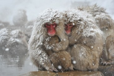 snow-animals-monkeys-japanese-macaque-3504x2334-wallpaper_www-animalhi-com_5